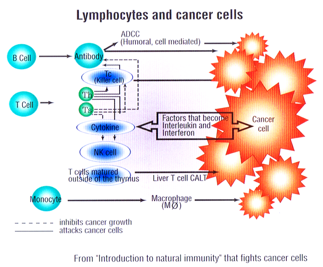 lynphocytes and cancer cells